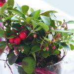 adelaparvu.com despre Gaultheria procumbens, Text  Carli Marian, Foto Floradania (3)