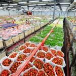 adelaparvu.com despre drumul lalelelor de la cultivare la recoltare, Sera Munster Olanda,Text Carli Marian (4)