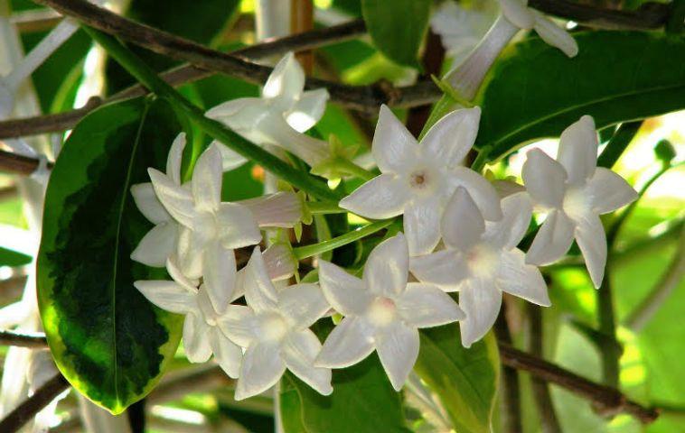 adelaparvu.com despre Iasomia de Madagascar, Stephanotis floribunda, text Carli Marian (11)