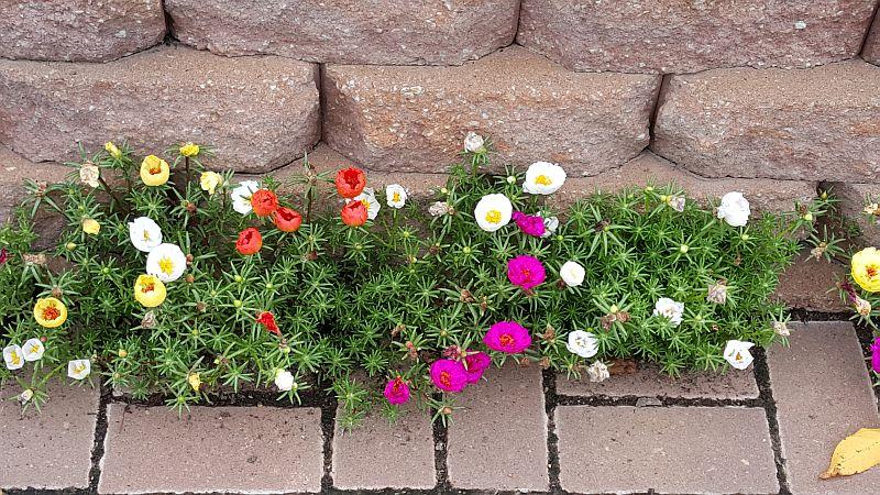 adelaparvu.com despre plante anuale cu flori care se autoinmultesc, Text Carli Marian, in foto Portulaca