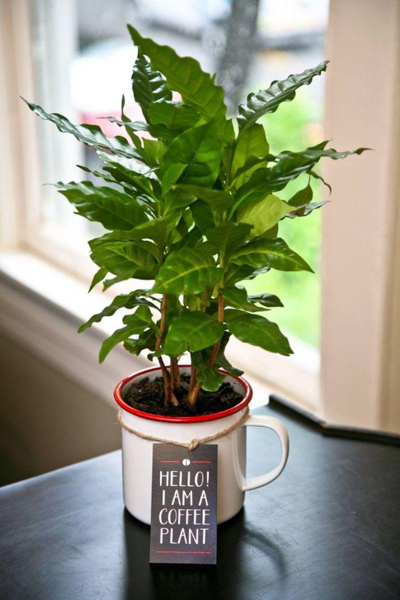adelaparvu.com despre Coffea arabica, arborele de cafea, Text Carli Marian (3)