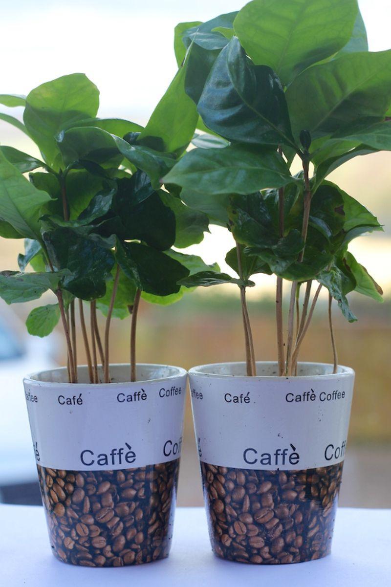 adelaparvu.com despre Coffea arabica, arborele de cafea, Text Carli Marian (5)