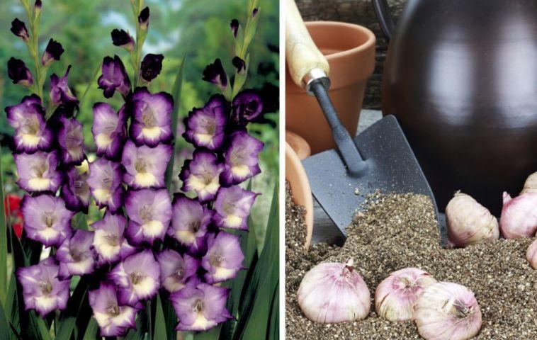 In foto gladiole si bulbi de gladiole