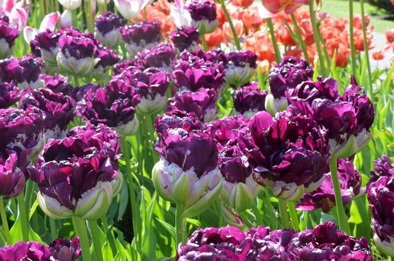 adelaparvu-com-dspre-plantare-bulbilor-de-primavara-text-carli-marian-in-foto-tulip-blue-wow