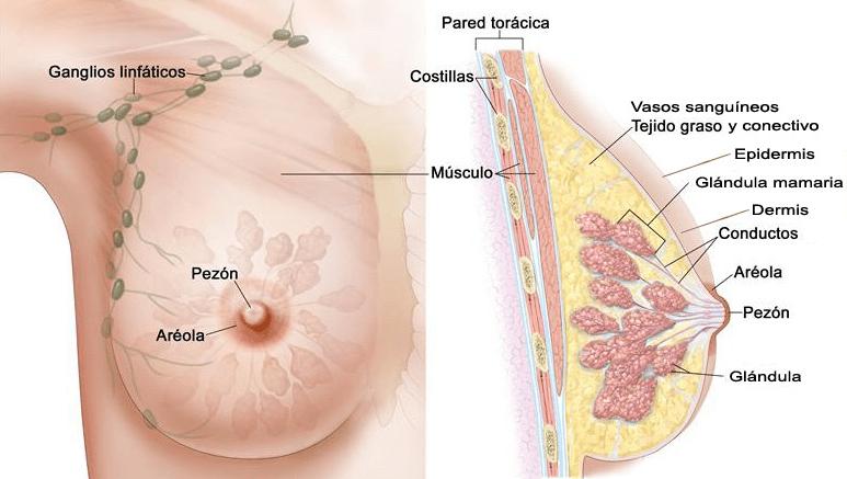 fibrosis en un pecho