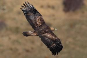 Águila Real Ibérica