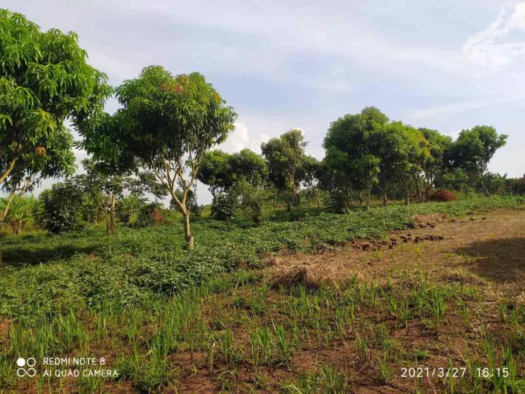 Namulonge Buso plots