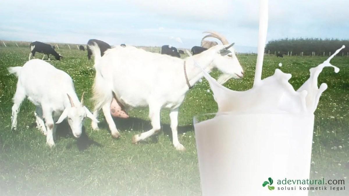 susu kambing utk bahan pembuatan sabun