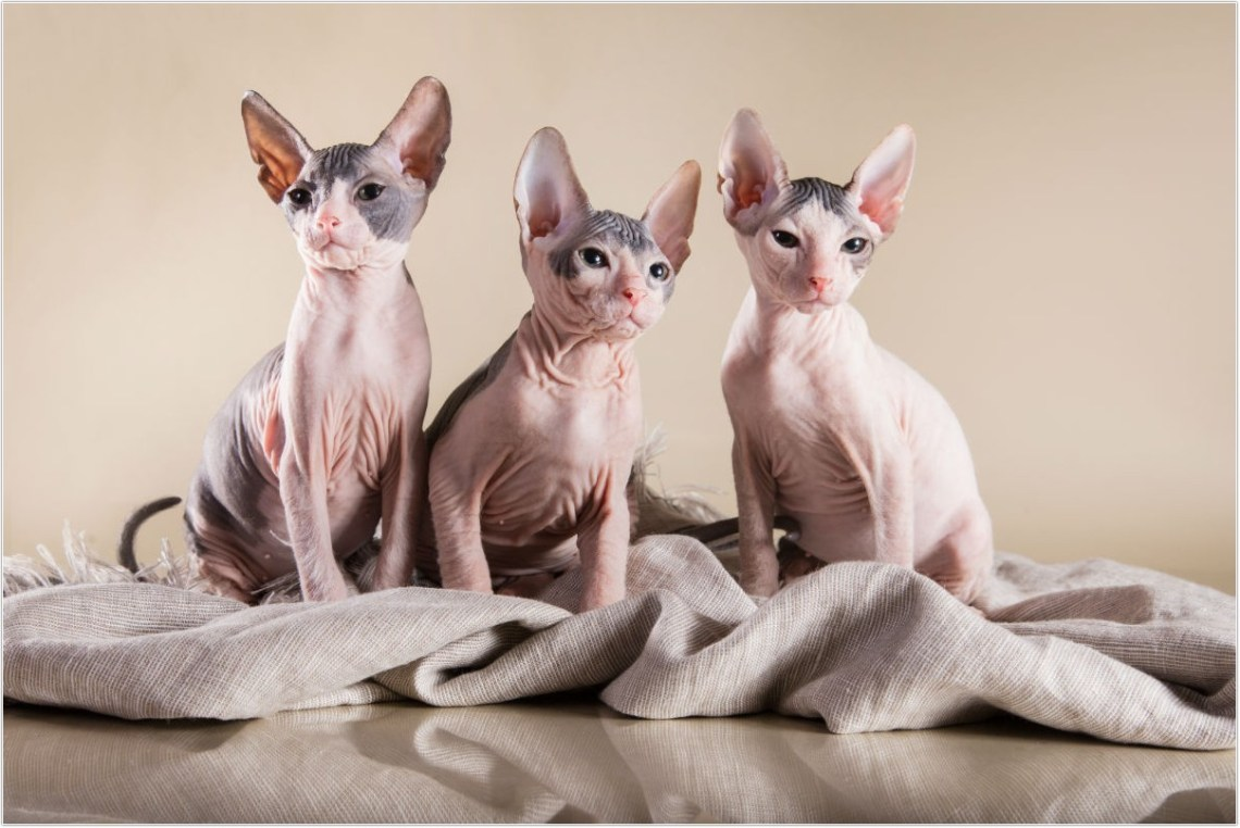 hairless-cat_5