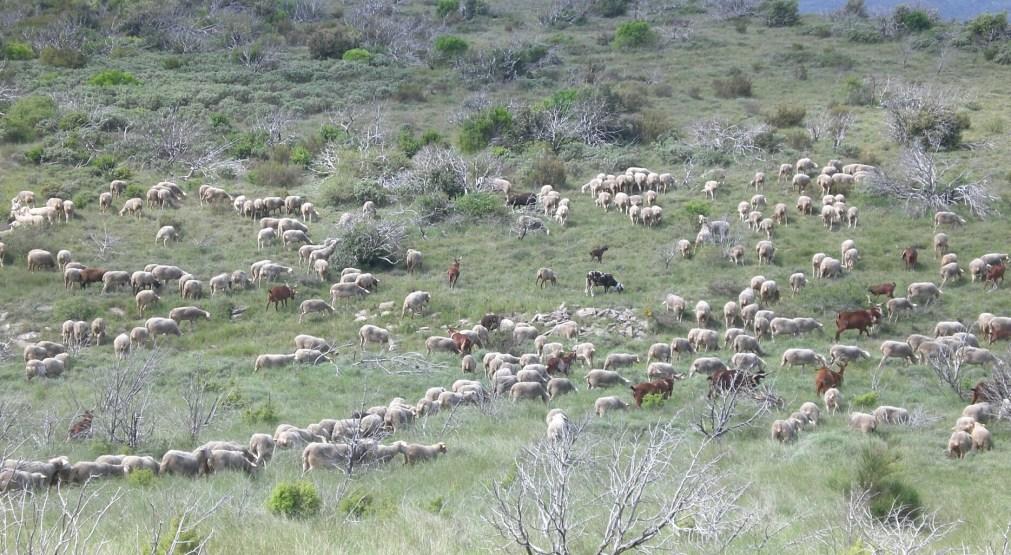 agneau fermier