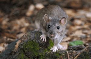 Rat brun marseille
