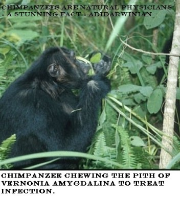 Chimpanzees Are Natural Physicians - a stunning fact - adidarwinian