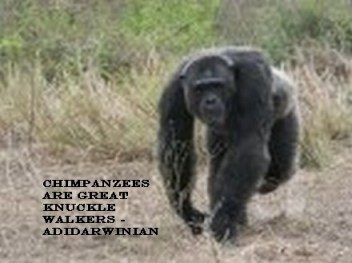 Chimpanzees are Great Knuckle Walkers - adidarwinian