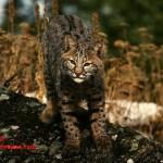 Bobcat - adidarwinian