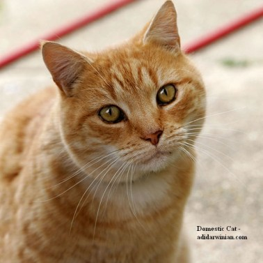 Domestic Cat - adidarwinian