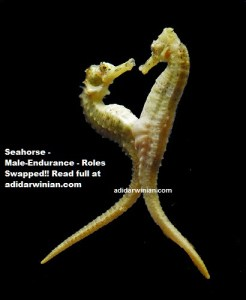seahorse mating adidarwinian