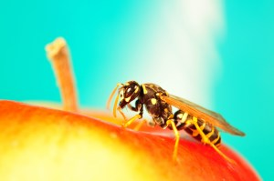 Hornet, Bee on apple