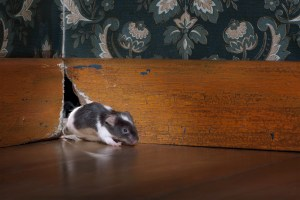 mouse getting out of her hole in a luxury old-fashioned roon