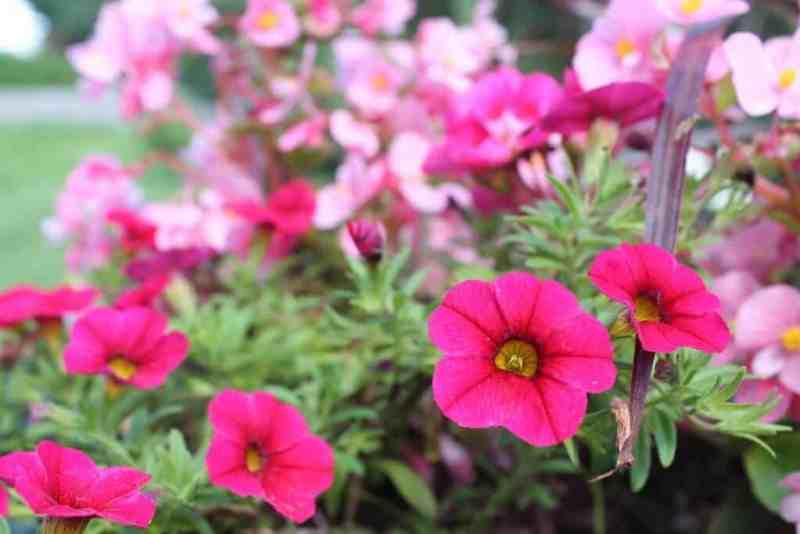 flowers-plants-on-deck-closeup-of-petunias-1024x683