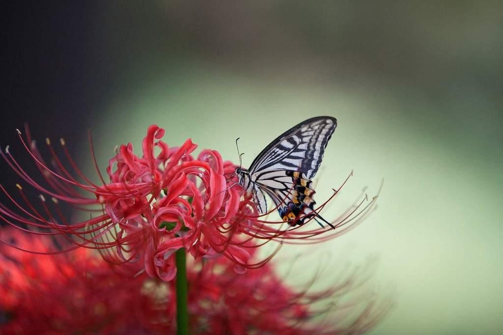 swallowtail-1140062_1280
