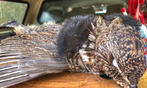 Grouse-Hunting-Adirondack-New-York-NY-3