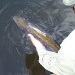 Trout-Rainbow-Fly-Fishing-Adirondack-New-York-NY