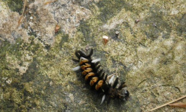caterpillar_adirondacks