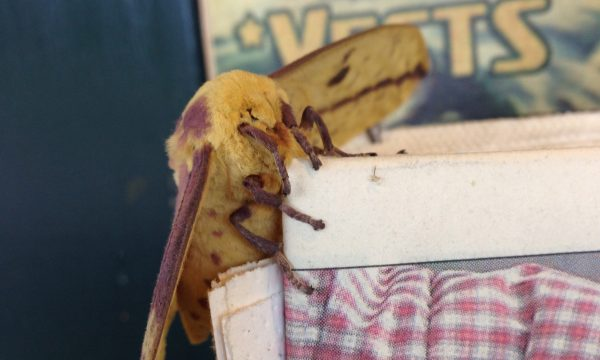 imperial_moth_adirondacks