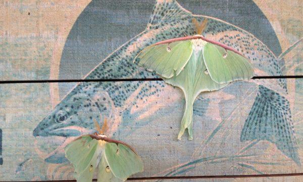 luna_moths_adirondacks