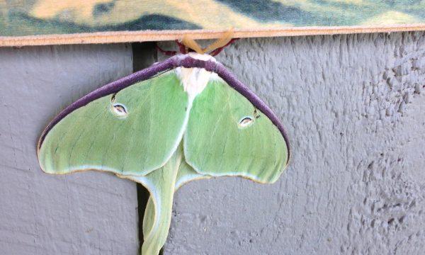 luna_moth_adirondacks