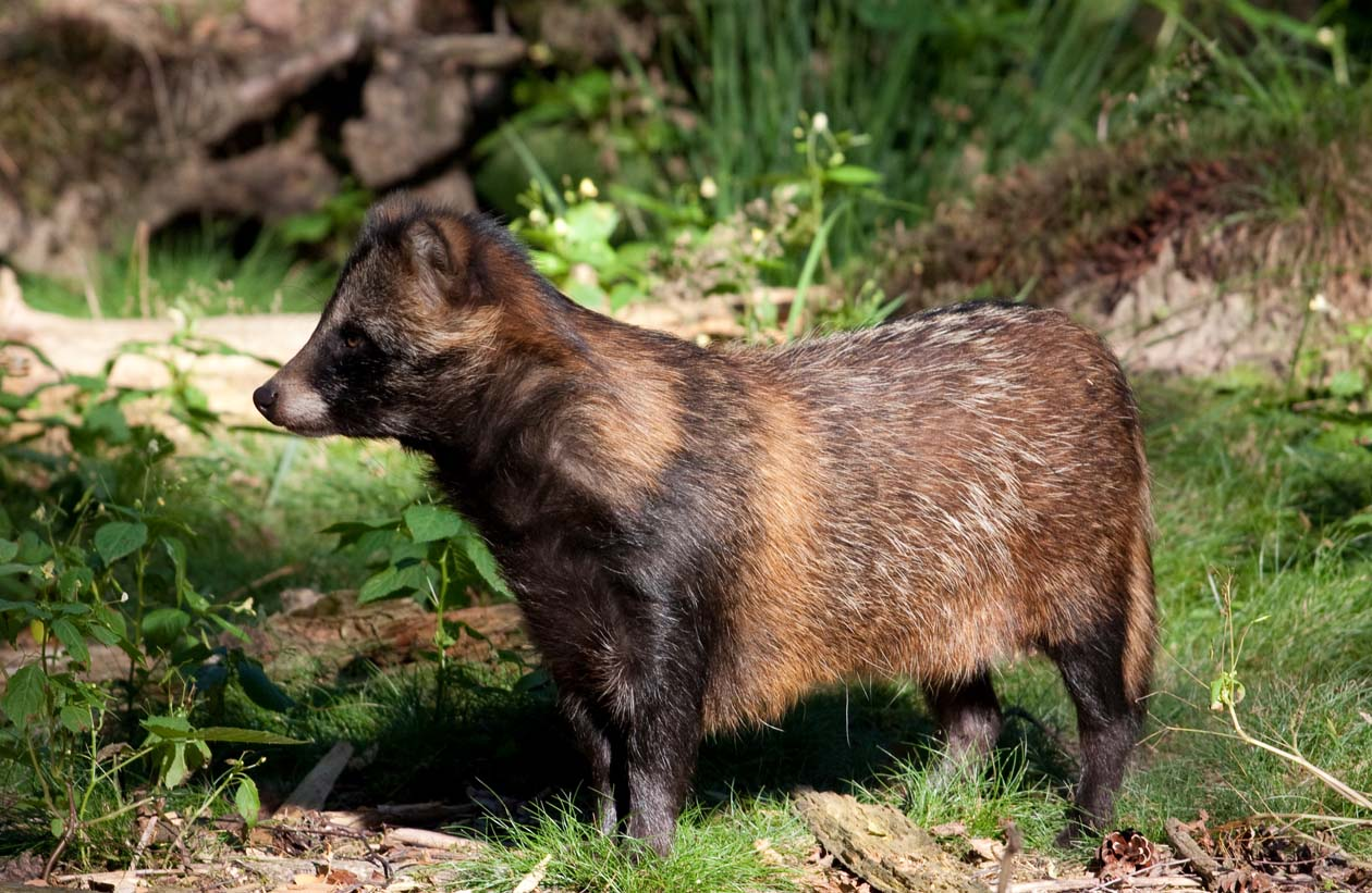 Raccoon Dog Nyctereutes Procyonoides Our Wild World