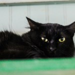 ADL - Adopt April - Domestic Mediumhair