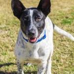 ADL - Adopt Bart - Smooth Collie