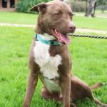 Adopt Rudolph - Shepherd mix dog