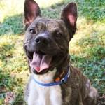 Adopt Rockford - Terrier mix