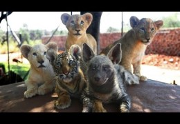 Baby Animals: Baby Lion, Baby Tiger & Baby Hyena Cub Ani