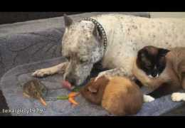 Amazing interspecies FRiENDS: Cat, rabbit, guinea pig and dog