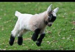 Cute Baby Goats Compilation