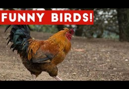 Funny Rooster & Bird Videos Weekly Compilation 2017   Funny Pet Videos
