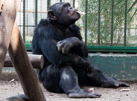 chimpamce
