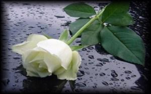 rosa luto nueva