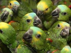 aves pericos