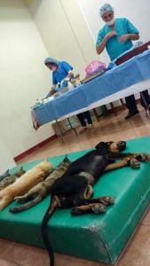 esterilizacion-de-perros