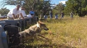 liberan-lobo
