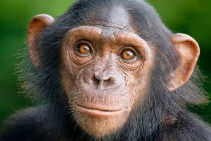 chimapance-liberado