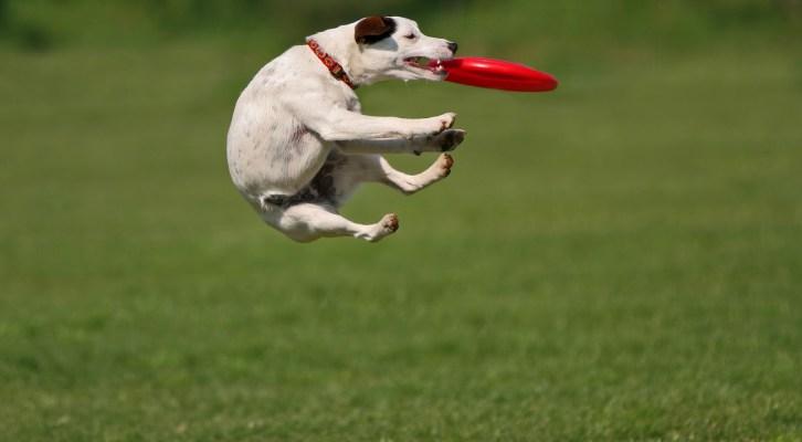 En la Expo Mascotas se realizará la etapa final del Frisbee Dog (19:30 h)