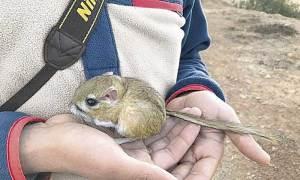 rata canguro