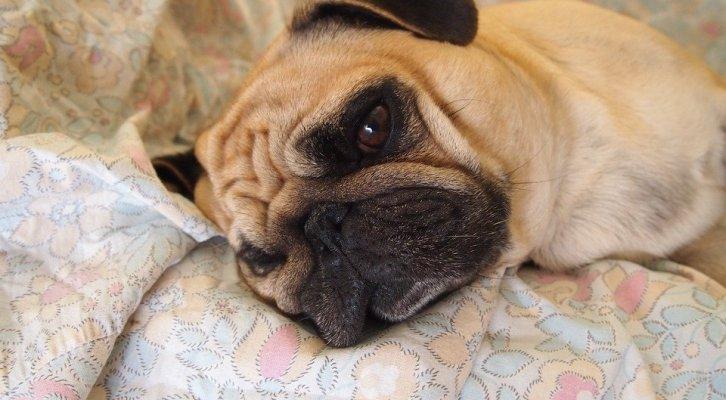 Enfermedades Caninas: Mosca del Establo síntomas (19:00 h)