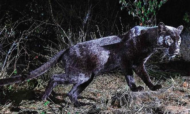 Después de un siglo, un leopardo negro es fotografiado en Kenia (11:00 h)