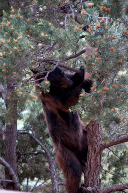 Neighborhood Bear (Source: Richard Andre)